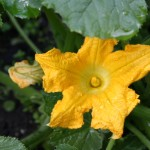 courgettes in full bloom