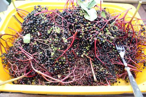 naughty little things: fruits of the elderflower